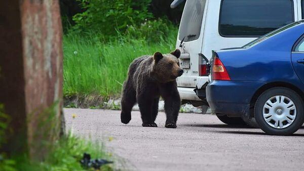 Bear in Neryungri, Sakha Republic - Sputnik International