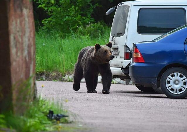 Bear in Neryungri, Sakha Republic