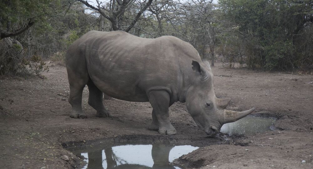 Najin, one of only two female northern white rhinos left in the world, walks in the pen where she is kept for observation, at the Ol Pejeta Conservancy in Laikipia county in Kenya Friday, March 2, 2018