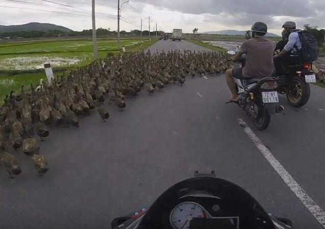 So. Many. Ducks.
