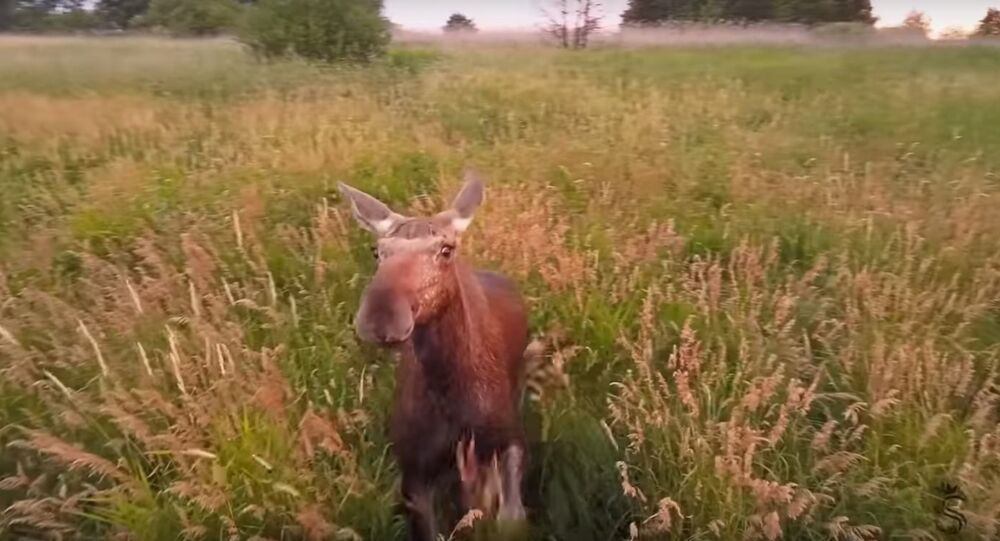 Moose and Drone