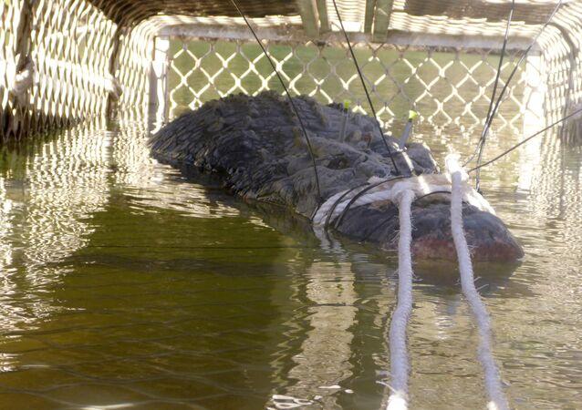 Australian crocodile captured