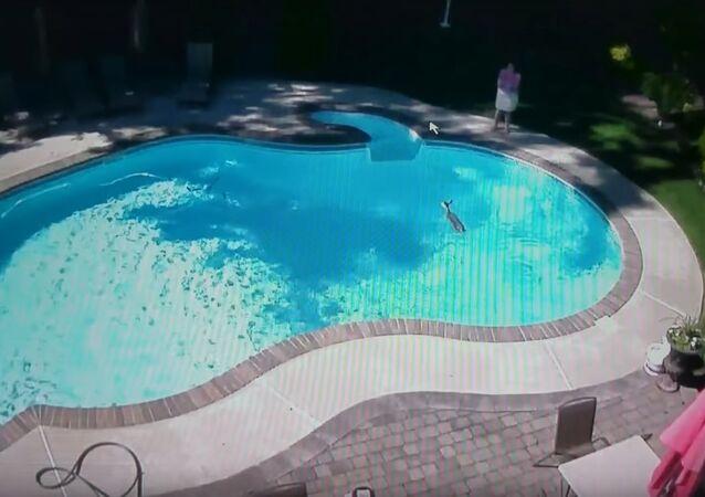 Deer Takes a Dip in Outdoor Pool