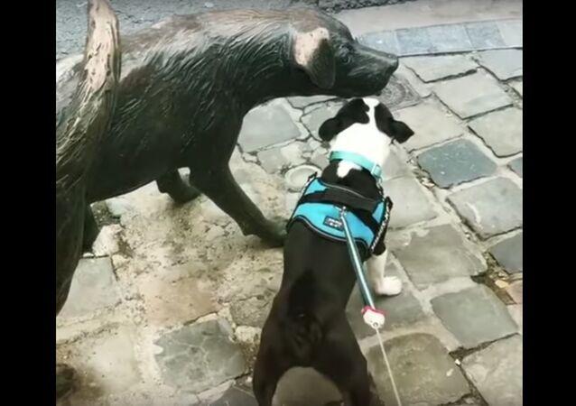 Boston Terrier Frantically Barks at Dog Statue