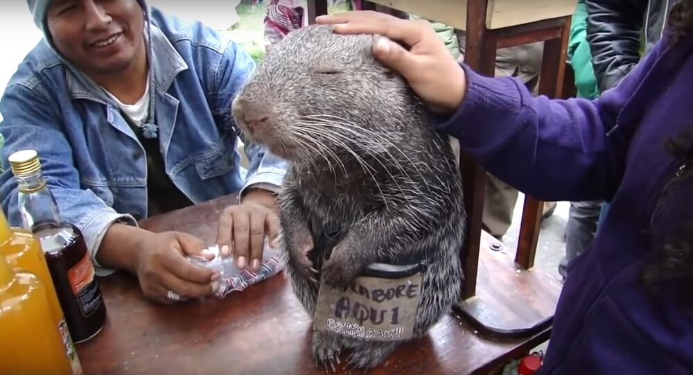 Master Splinter Is Real & He Lives In South America!