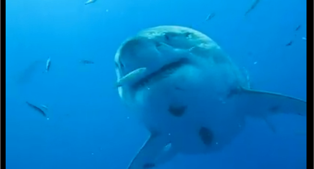 Deep Blue, a 20 foot-long Great White Shark, filmed off the coast of Mexico in 2013