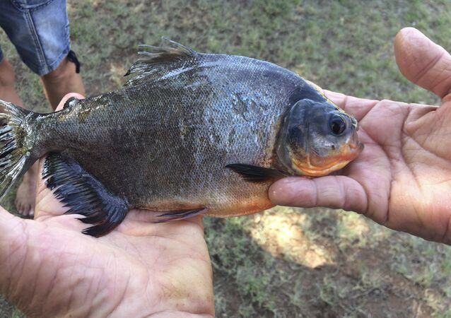 his July 22, 2018 photo provided by the Oklahoma Department of Wildlife Services shows a native South American fish known as a pacu that was was caught in a southwestern Oklahoma lake in Caddo County by 11-year-old Kennedy Smith of Lindsay, Okla. Game Warden Tyler Howser said the pacu is considered an invasive species and was destroyed.