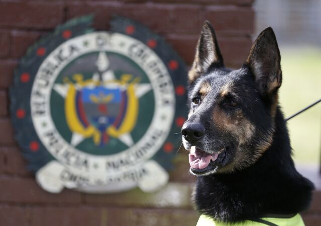 Drug dog Sombra, has helped detect more than 2,000 kilos of cocaine hidden in suitcases, boats and large shipments of fruit, sits outside the police station in Bogota, Colombia, Thursday, July 26, 2018.