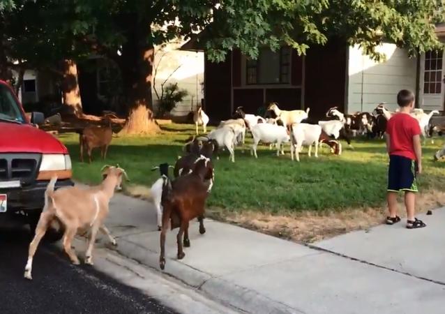 Herd of goats invade Boise, Idaho, neighborhood
