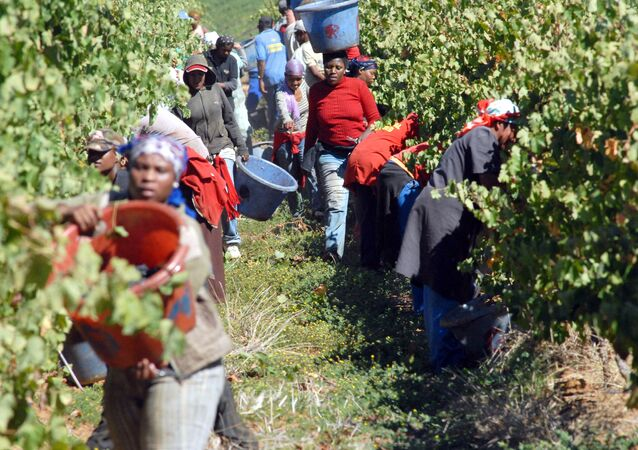Workers pick red grapes on the Bloemendal Farm, in the Durbanville Hills area, about 25Kms north of Cape Town (File)
