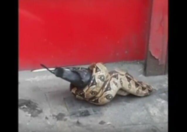 Snake was eating pigeon in London street