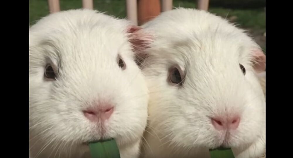 Lady and the Tramp: Guinea Pig Version