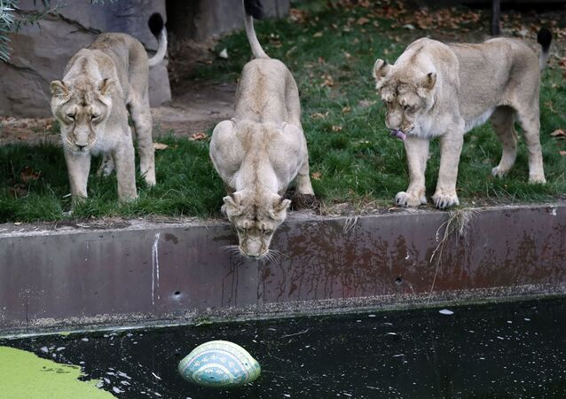 London Zoo's lionesses, sisters Heidi, Indi and Rubi, watch a ball in the water, a day ahead of World Lion Day in London, Thursday, Aug. 9, 2018. The pride will be celebrating conservation success as Asiatic lions numbers continue to increase.