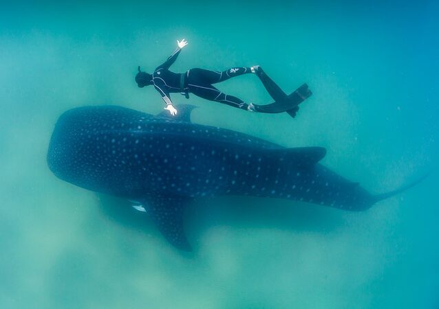 Whale Shark and Freediver
