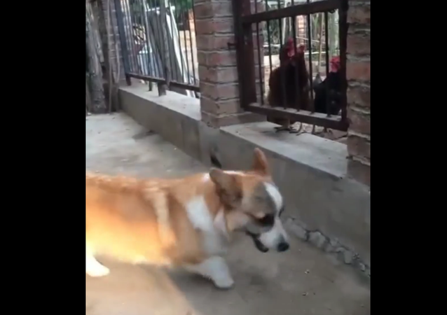 Corgi Barks at Chickens. 2018