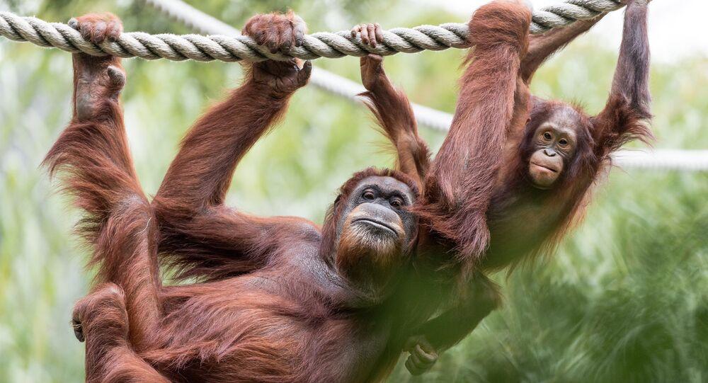Orangutan Mom and Baby Hanging