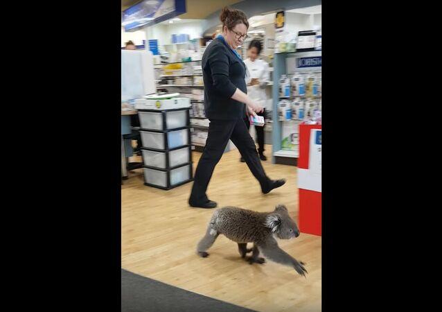 Koala Walks into Chemist