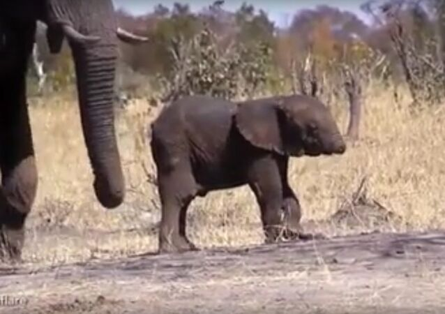 'This is UNREAL!' HEARTBREAKING video shows baby elephant WITHOUT his trunk