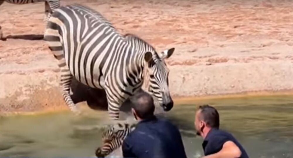 Bioparc Valencia zebra