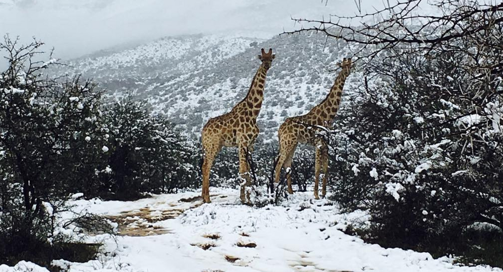 Giraffes in South African snow
