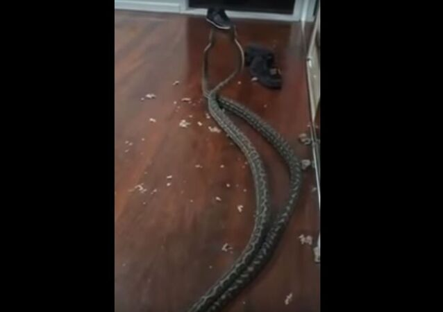 Snakes Fall Into Woman's Bedroom in Australia