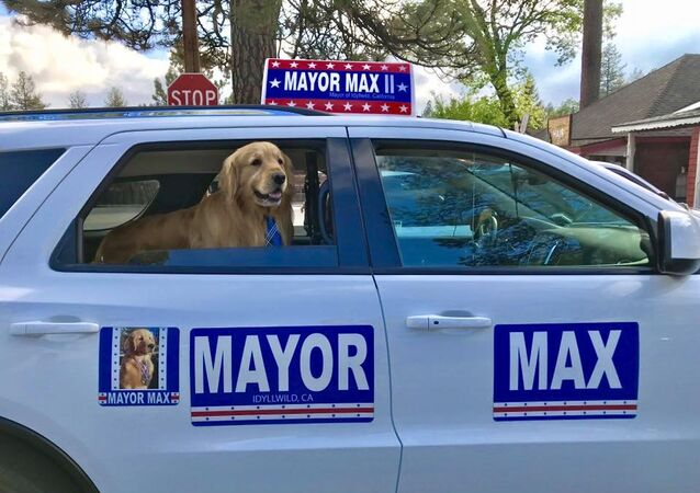Maximus Mighty Dog Mueller II, Golden Retriever elected as Idyllwild mayor