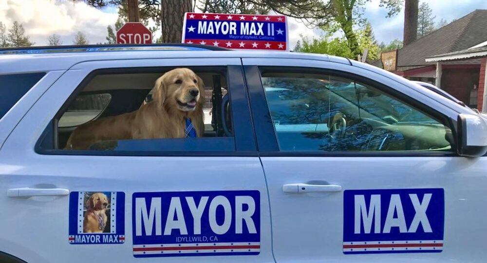 Maximus Mighty Dog Mueller II, Golden Retriever elected as Idyllwild mayor