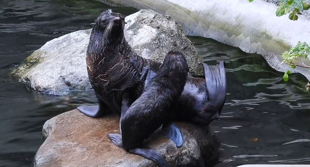 Northern fur seal and her pup