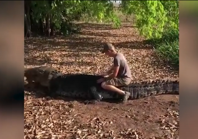 Tourist Climbs On Top Of 650KG Saltwater Crocodile In Outback