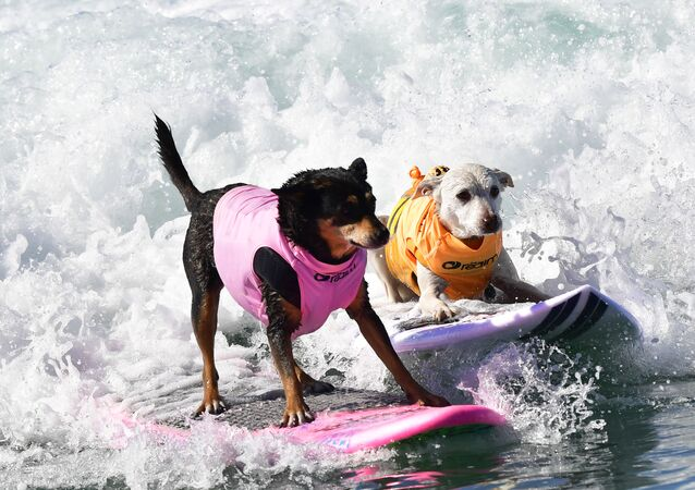 Cute Pups Show Off Skills at Surf City Surf Dog Contest in California
