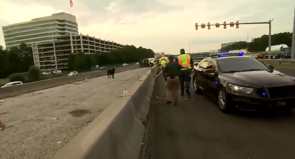 Where's the Beef?: Overturned Trailer Releases Cattle Onto US Interstate