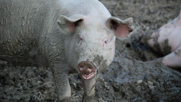 Pigs - Sputnik International