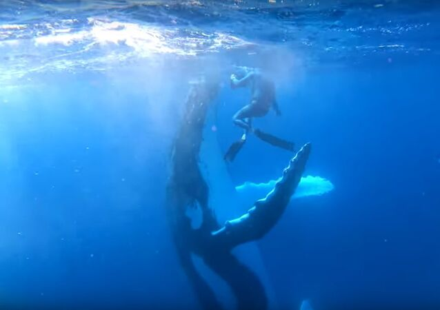 Incredible Moment Humpback Whale High Fives Diver