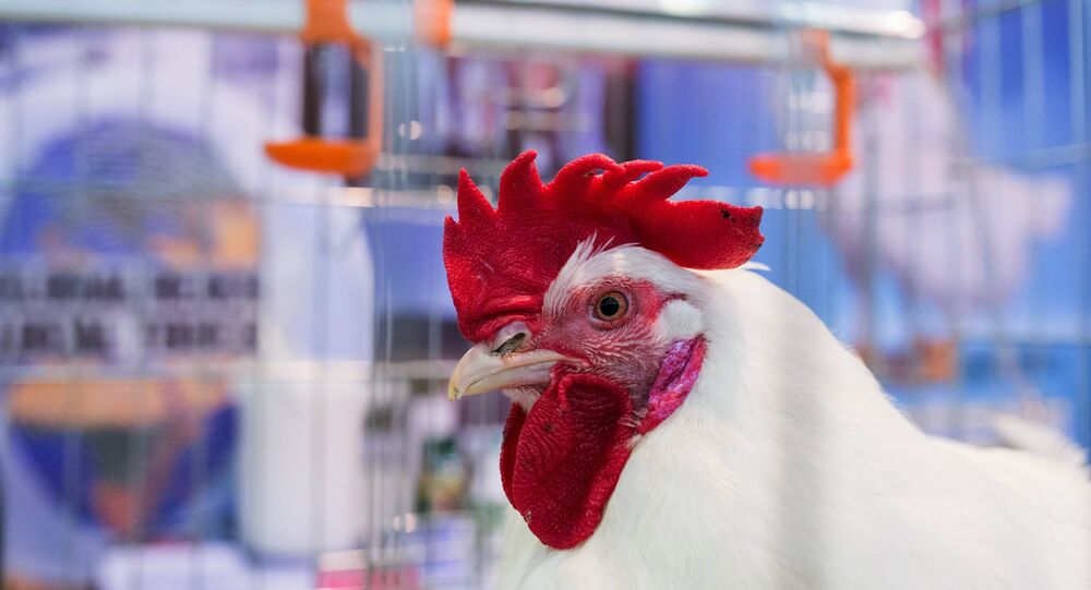 Chicken at Russia's 19th Agricultural Exhibition Golden Autumn-2017