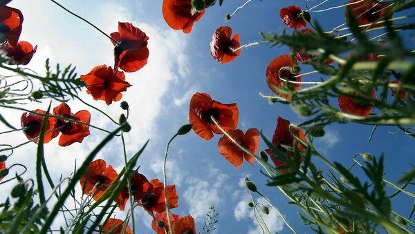 Poppy field - Sputnik International