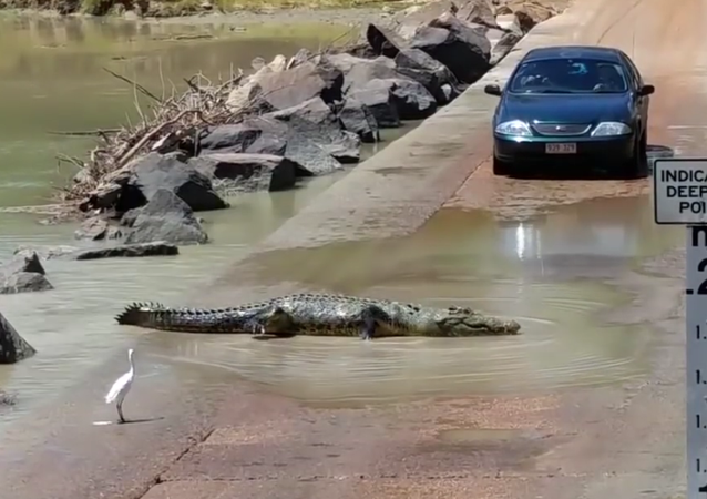 Crocodile crossing the road