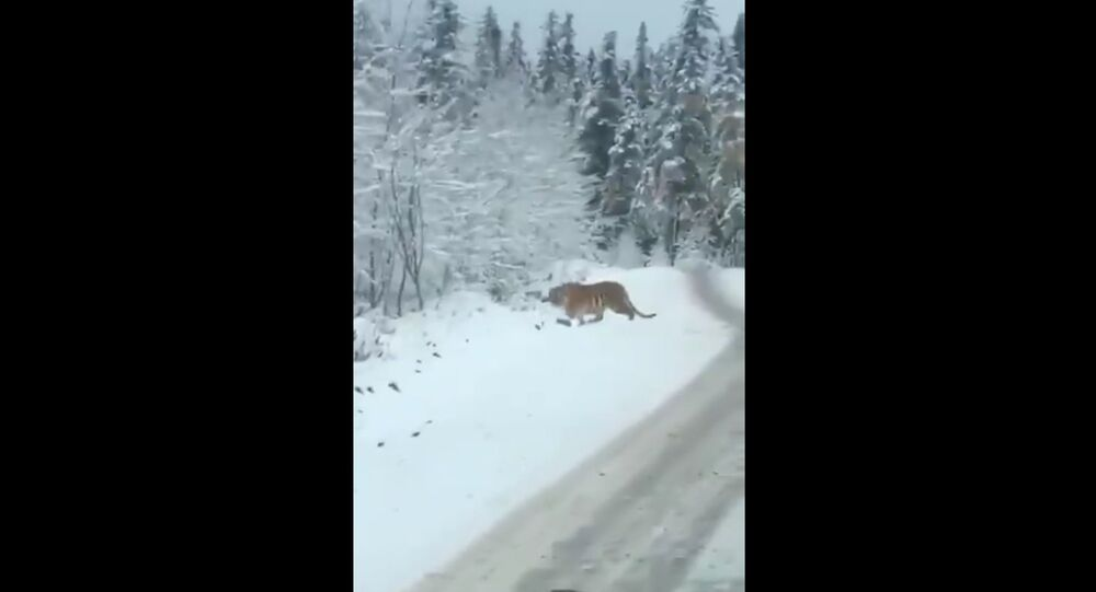 That moment when a SIBERIAN TIGER walks across the road in front of the car. In Heilongjiang, NE China.