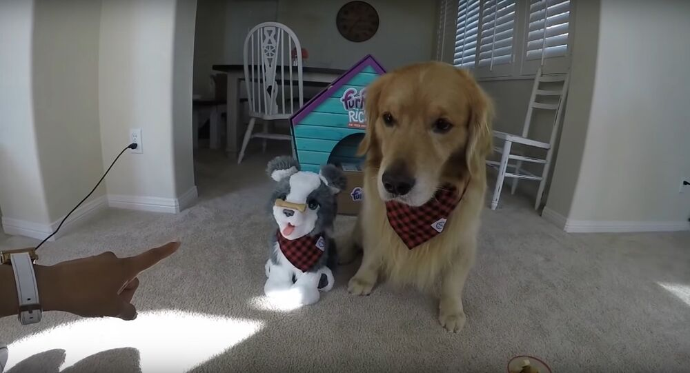 Golden Retriever VS Husky Puppy Ricky Challenge #2   Oshies World