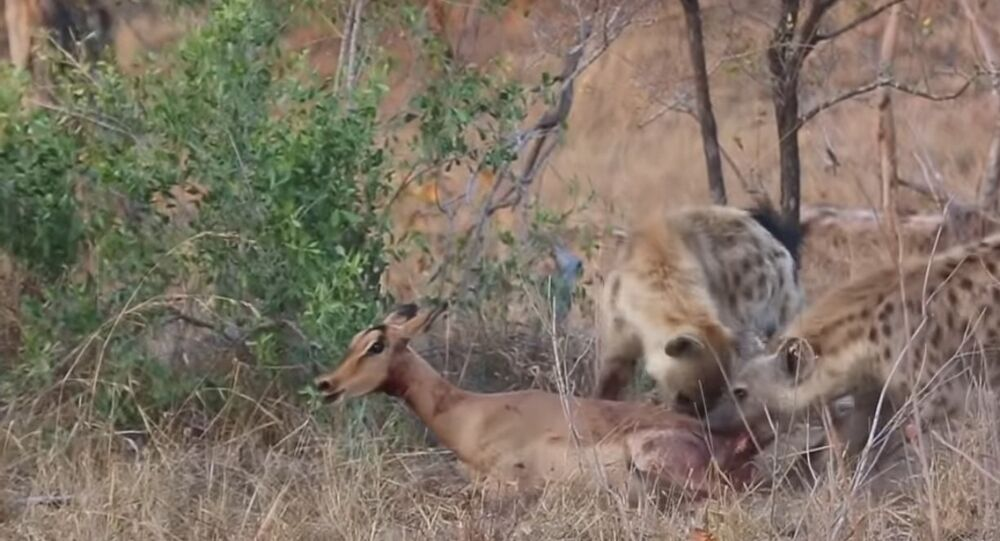 Cheetahs and Hyenas Eat Impala Alive
