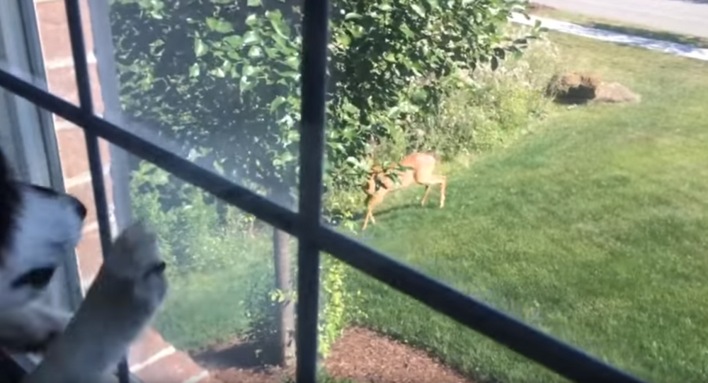 Playtime Denied? Siberian Husky Loses it Over Deer Sighting