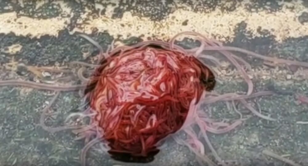 Worm monster on camera: Tubifex mass revolts Texas homeowner