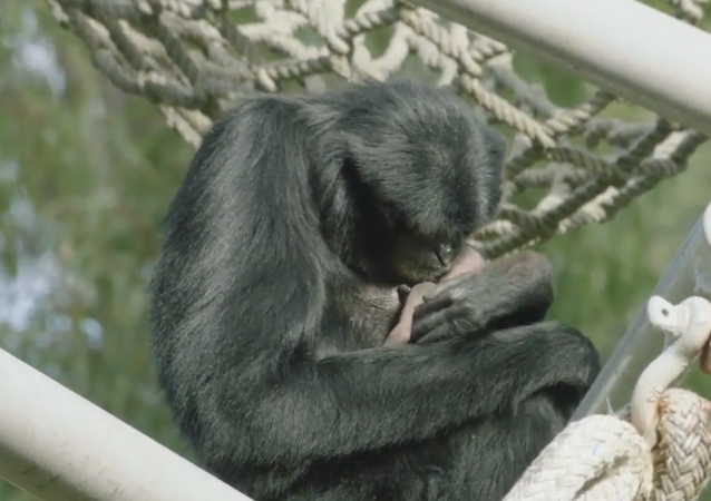 Gibbon on Birth Control Shocks San Diego Zookeepers With Mother of a Surprise
