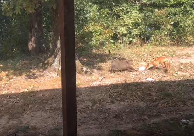 Mealtime Melee: Rotund Cat Attacks Fox Over Food Scraps