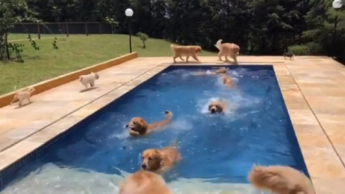 Be Cool In The Swimming Pool Energetic Golden Retrievers Splash Around In Water Sputnik International