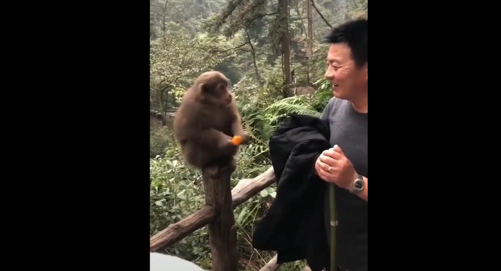 Monkey eats fruit