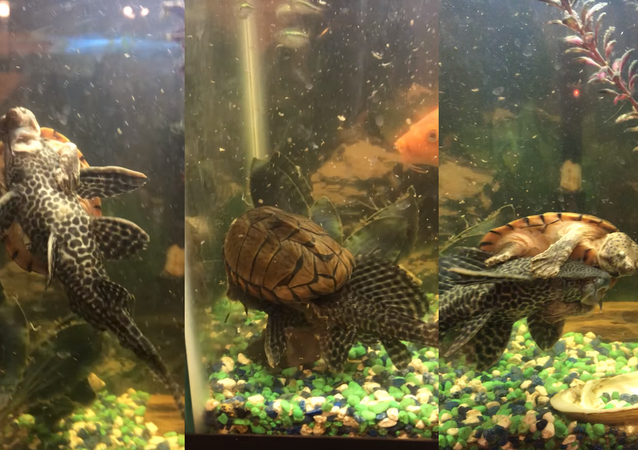 Fish Tank Taxi? Turtle Hitches a Ride on Suckerfish's Back