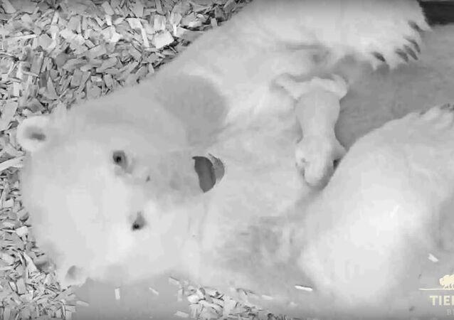 Polar bear cub at Tierpark Berlin 2018