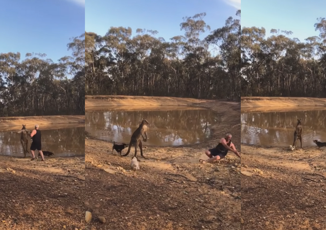 Defensive 'Roo Takes on Irresponsible Human, Hounds and His Brew