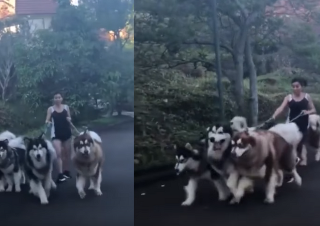 Owner Attempts to Walk Five Alaskan Malamutes at Once