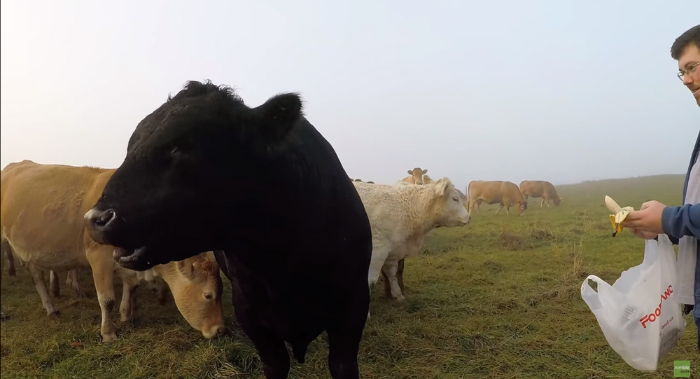 'None of that Bull': Steer Makes Snack Choice Clear